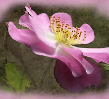 Pink rose Textured by julie anne  grattan