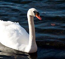 Swan by Paris Franz