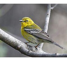 Pine Warbler Photographic Print