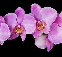 Red Phalaenopsis Orchid by Oscar Gutierrez