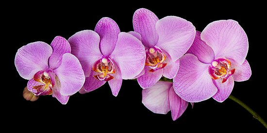 Red Phalaenopsis Orchid by Oscar Gutierrez