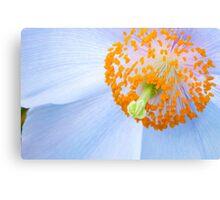 Blue-poppy (Meconopsis) Canvas Print
