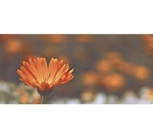 Calendula Photographic Print
