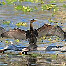 Synchronized cormorant wing drying by jozi1