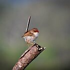 Female Red Backed Fairy Wren, Malurus melanocephalus by Normf