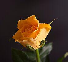 Yellow Rose by gazmercer
