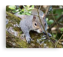 Squirrel on a Branch Canvas Print