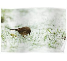 Meadow Pipit Hunting for Food Poster