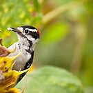 Woodpecker and Sunflower by Isabelle Lafrance