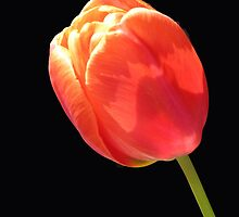 New Zealand Tulip by Claudia Goodell