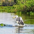 Cocoi Heron with catch by Linda Sparks
