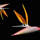 Bird of Paradise by Aase