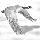 &quot;Northern Bound&quot; Canadian Goose in flight by iLovePencils