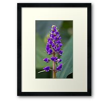 Purple Flower - Lupine Framed Print