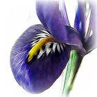 Blue Iris by Brenda Boisvert