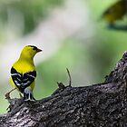 Goldfinch Poseur by Ken McElroy