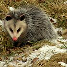 Virginia Opossum Out for a Snack by Robert Miesner