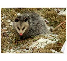Virginia Opossum Out for a Snack Poster