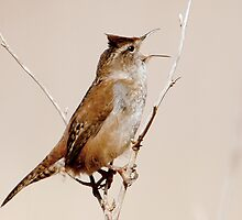 Wren Song in the Marsh by David Friederich