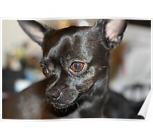 Lovely Chihuahua Poster