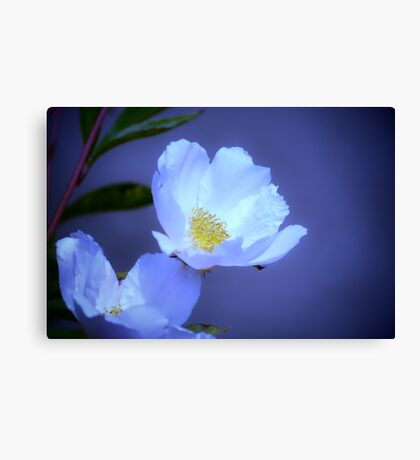 Delicate Flower on Blue Canvas Print