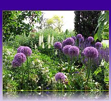 Alliums and Lupins in Reflection Frame by BlueMoonRose