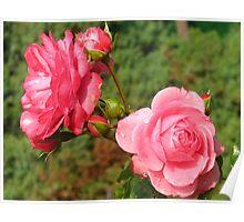 Flushing  Blushing Pink Roses Poster
