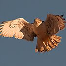 0104112 Ferruginous Hawk by Marvin Collins