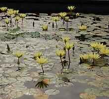 Waterlillies by gmcneilnz