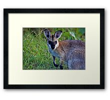 Red Necked Wallaby  (Macropus rufogriseus banksianus)  Framed Print