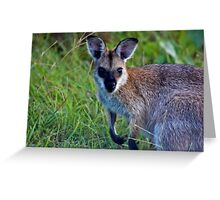 Red Necked Wallaby  (Macropus rufogriseus banksianus)  Greeting Card