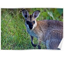 Red Necked Wallaby  (Macropus rufogriseus banksianus)  Poster