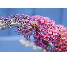 The Bee and The Buddleia  Photographic Print