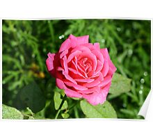 Cerise Rose Poster