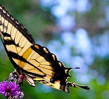 Tiger Swallowtail by Brooke Winegardner