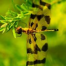 Calico Pennant (female) 2 by Brooke Winegardner
