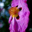 Desert Rose by Lozzar Flowers & Art