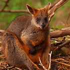Wallaby on Phillip Island by Justine Armstrong