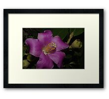 Mauve Beauty Lagunaria patersonia Framed Print