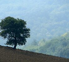 Lone Tree - Tuscan Hillside, Italy by ljroberts