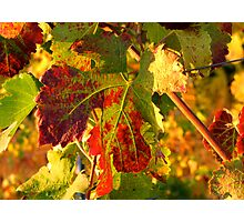 Grape Leaves - Tuscany Vineyard, Italy Photographic Print