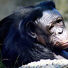 Chimpanzee by Laurel Talabere