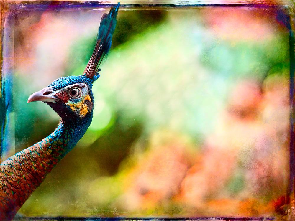 Peacock doing a double take. by alan shapiro