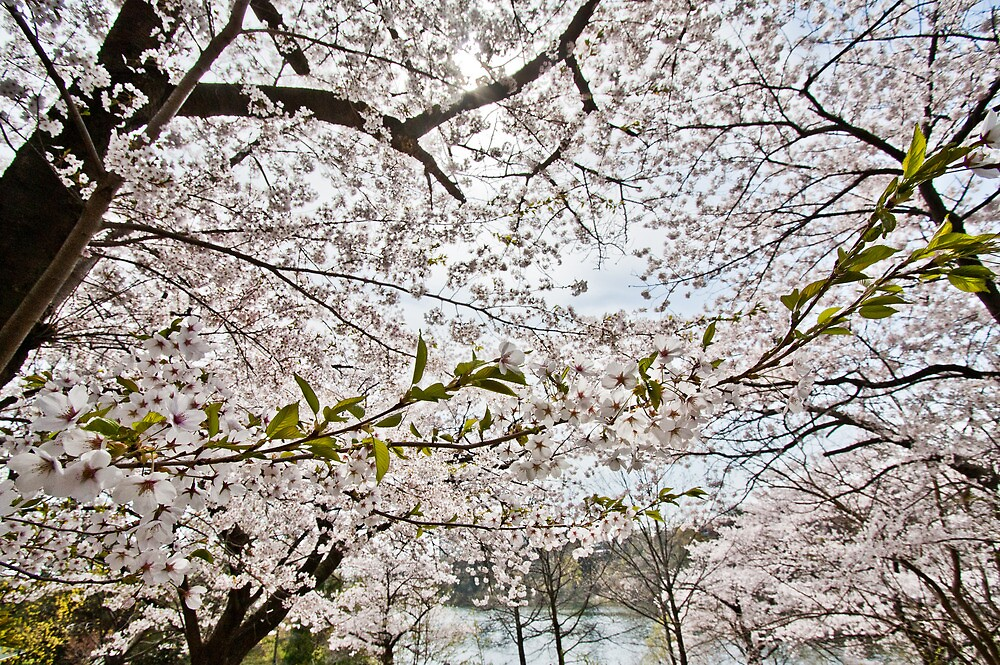 Sakura - Cherry Blossoms by Ken  Yan