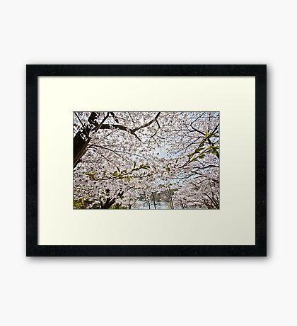 Sakura - Cherry Blossoms Framed Print