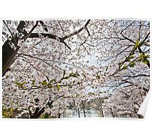 Sakura - Cherry Blossoms Poster