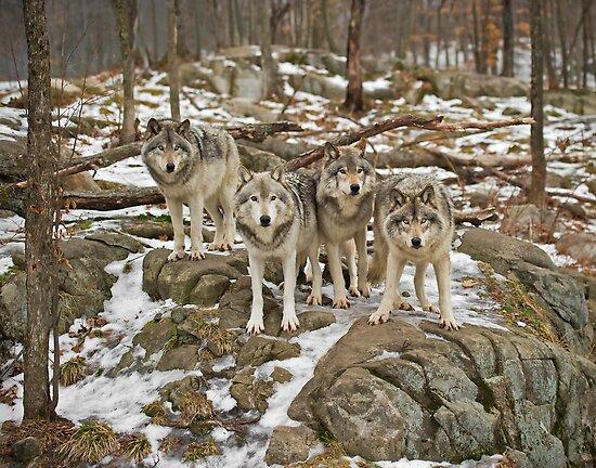Wolf Pack by Daniel  Parent
