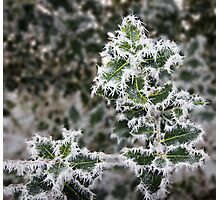 Frosted Holly Photographic Print