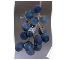 Winter Berries with a Single Snow Flake  Poster