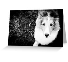 sheltie puppy Greeting Card
